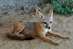 Endangered California Foxes Poisoned By Rodenticides