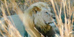 Dallas Safari Club Position on Captive Bred Lion Hunting