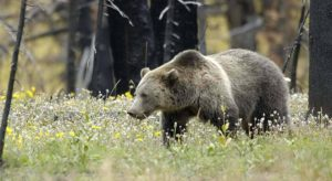 Judge extends order blocking planned grizzly hunt