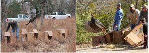 North Carolina Turkey Trap and Release Efforts Will Boost Texas Turkey Populations